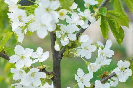 White apple flowers on the green tree, close up. Foto de archivo
