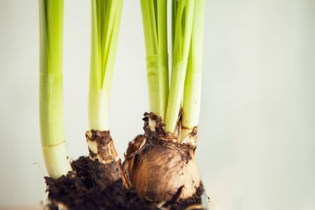 Green onion bulbs in pot