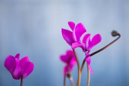 Pink flowers cyclamen, light blue background Фото со стока