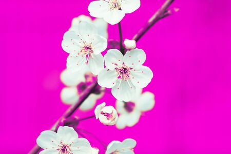 White apple flowers on the pink background, close up Foto de archivo - 149842363