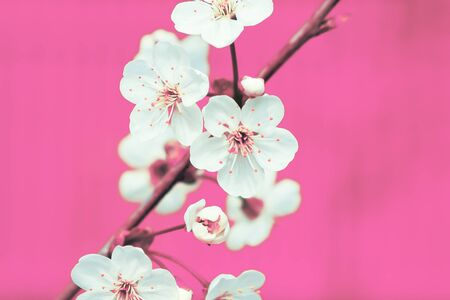 White apple flowers on the pink background, close up