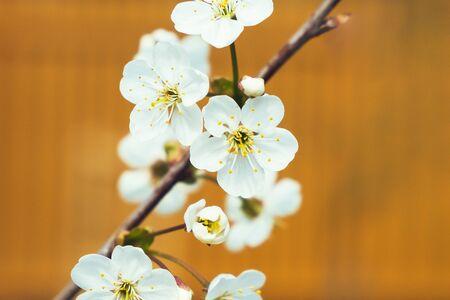 White apple flowers on the orange background, close up