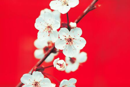White apple flowers on the red background, close up