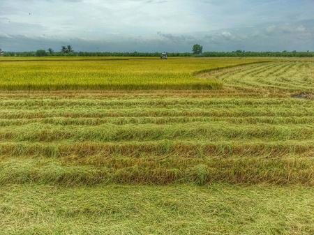 combine harvester: La cosecha de arroz con cosechadora en Tailandia.