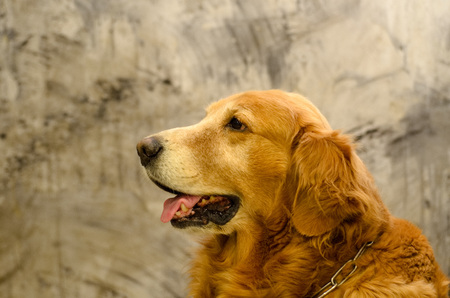 Side view close up picture of a Golden Retriever dog breed sitting in front of isolated studio on gray background