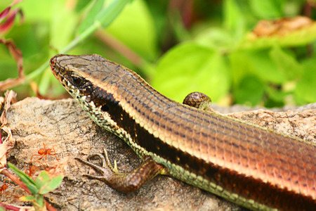A skink is climbing a rock in the overgrown yard