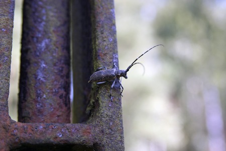 long horn beetle: Bug monochamus galloprovincialis on rusted iron metal summer