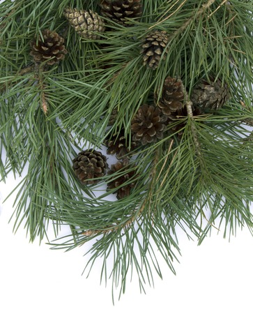 Pine branch branches with cones on a white background