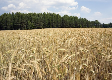 wheat barley field in country blue sky Stock Photo