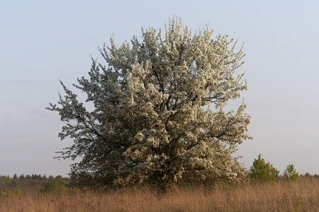 lonely alone abloom blossom blossoming flowering pear tree field meadow Stock Photo