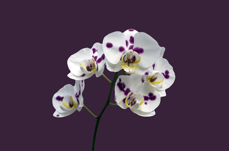 Phalaenopsis orchid pink background white leaf blossoms yellow green stem