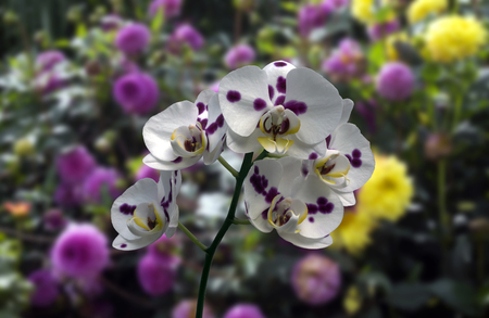 Phalaenopsis orchid blur various flawers background white leaf blossoms yellow green stem Stock Photo