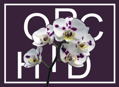 Phalaenopsis orchid pink background white leaf blossoms yellow green stem typography disjointed text Stock Photo