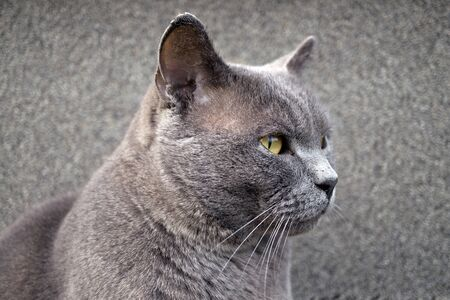 British shorthair cat breed Chartreux looking into the distance macro 免版税图像