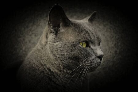 British shorthair cat breed Chartreux