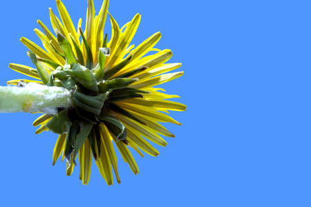 Sonchus arvensis Asteraceae one yellow flower blue sky macro lens from the bottom close-up