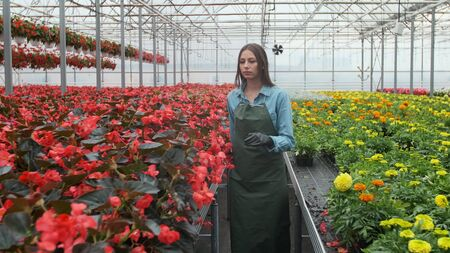 Young woman in the greenhouse with flowers checks a pot of red poinsettia on the shelf.