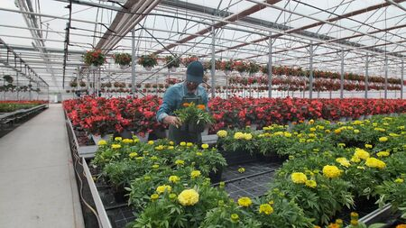 Happy Industrial Greenhouse Worker Carry Boxes Full of Flowers. Smiling and Happy man with flowers he Growing.