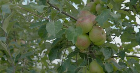 Woman Pick an Apples from the tree.