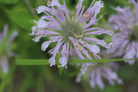 Macro Purple Wildflower Фото со стока - 82931397
