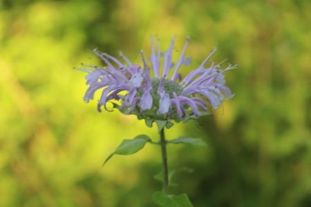 Isolated Purple wildflower Stok Fotoğraf