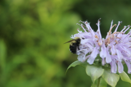 Pollinating bee on wildflower