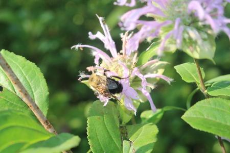 Bee Pollinates Wildflower Banco de Imagens - 82931401