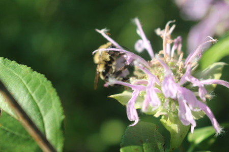Bee Pollinates Wildflower