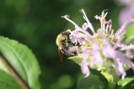 Bee Pollinating flower in ontario