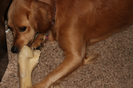 Golden Retriever chewing bone