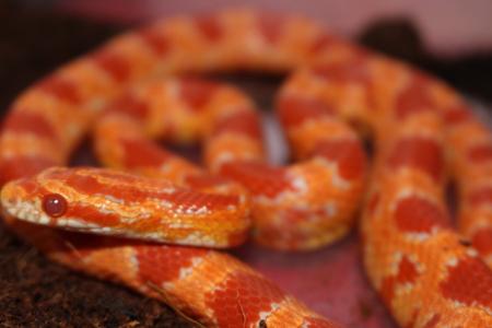 red albino corn snake Stock Photo
