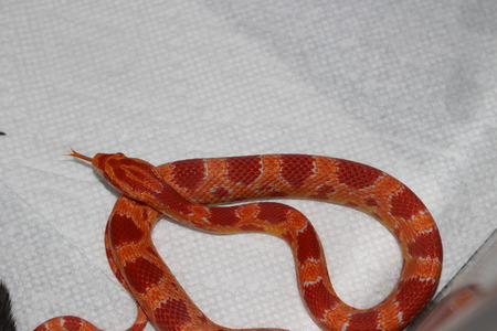 Albino Corn Snake Stock Photo