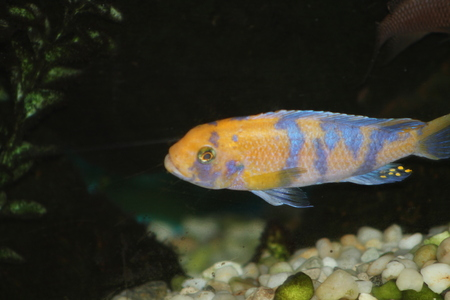 african cichlid Stock Photo