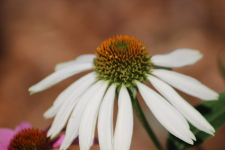 stock photograph of cone flower