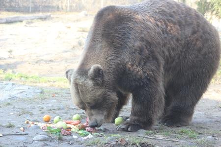 Grizzly Bear walking Ursus arctos in Canada Stock Photo