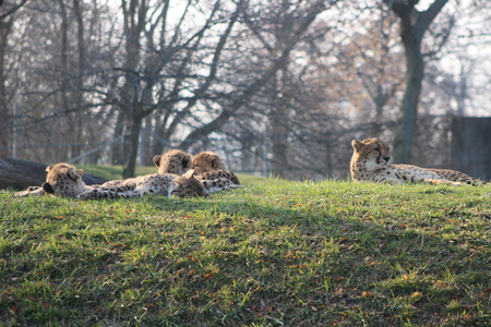 cheetah cubs laying togehter with their family. the cheetah is known for its speed 版權商用圖片