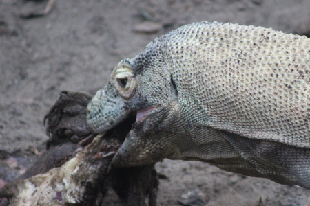 Komodo Dragon - Close up eating meat and swallowing whole