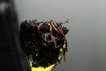 COMPOST WORMS IN VERMICASTINGS ON YELLOW SCOOP PROCESSING FOOD WASTE. THIS ORGANIC METHOD HELPS REMOVE FOOD WASTE FROM LANDFILL.