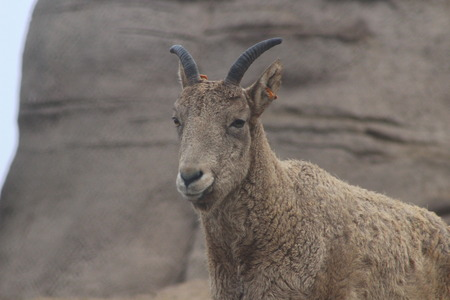 The West tur which is a mountain goat type animal