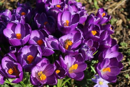 lot of purple crocus flowers in spring Standard-Bild
