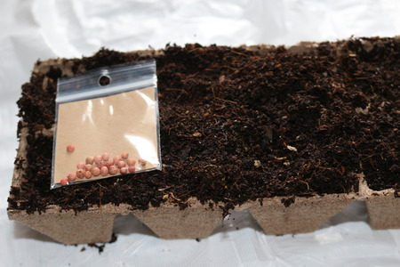 sowing seeds in spring in biodegradable peat pots Stock Photo