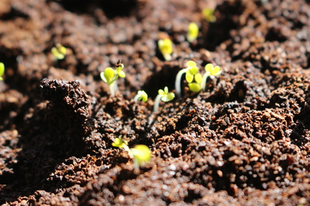 Small green seedling of arugula growing from soil in organic vegetable garden. bright