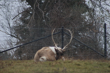 large caribou with impressive antlers at the zoo