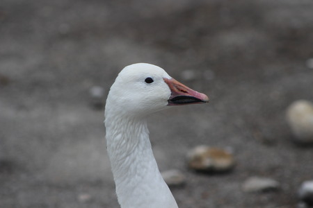 Snow goose, Anser caerulescens, photo captured in Canada