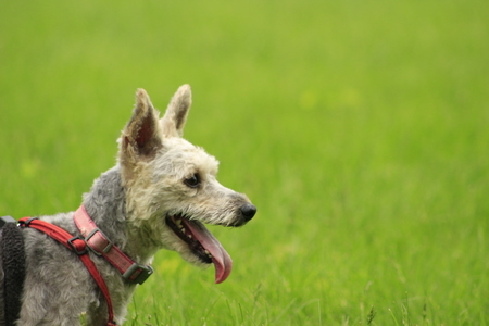 Small Yorkie poodle mix on a harness in the grass, room for copy space