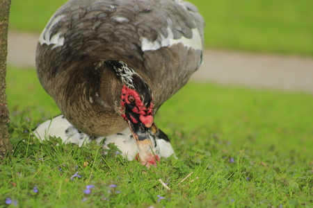 Muscovy ducks mating at a local park in Canada, these are often bought as farm ducks 写真素材