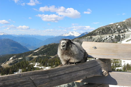 A Hoary marmot on a mountain with a beautiful mountain backdrop showing Whistler Blackcomb mountains Stock Photo