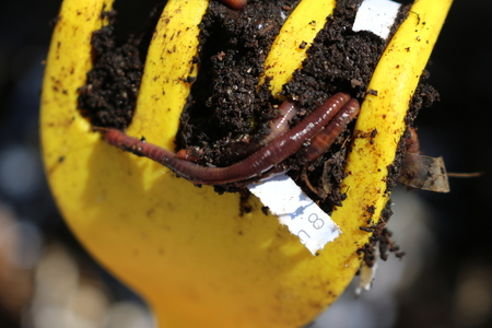 Red Worms, Dendrobena Veneta, common compost worm in a yellow pitchfork
