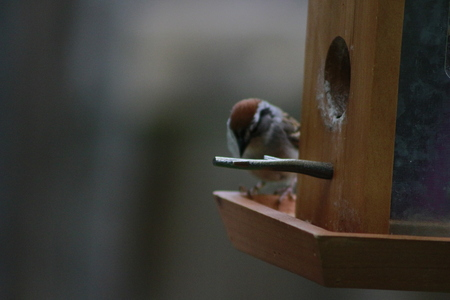 House sparrow with suet pellet in bill on bird feeder. Reklamní fotografie