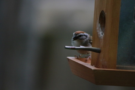 House sparrow with suet pellet in bill on bird feeder.